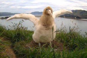 Albatross chick needs a name