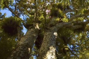 Aotea/Great Barrier tracks reopen after kauri dieback upgrades