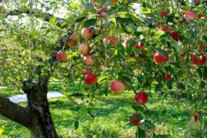 Hawke's Bay Tourism launches campaign to help apple industry