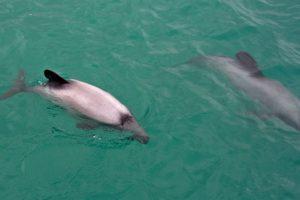 Rare Hector's dolphin spotted in Coromandel