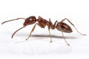 Operators urged to help combat Argentine ants