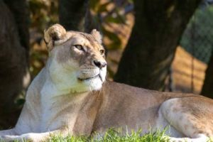Auckland Zoo farewells much-loved lions