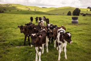 Dairy becomes NZ's top export earner as tourism falls