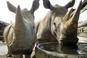 Auckland Zoo to add female white rhino to its ranks