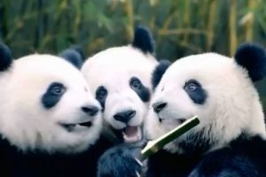 China Southern launches giant panda competition