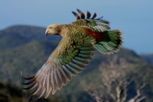 KiwiRail, DOC, NZMCA partner to help endangered kea