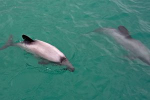 Hector's or Māui dolphins confirmed in Taranaki region