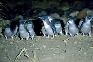 DOC warns people handling little blue penguins