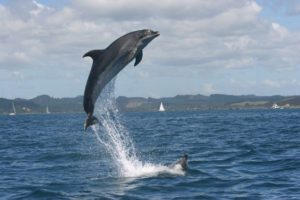 Bay of Islands dolphin swimming banned, tours curtailed