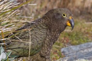 Kea conservation wins for The Remarkables