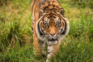Orana Park tiger euthanased