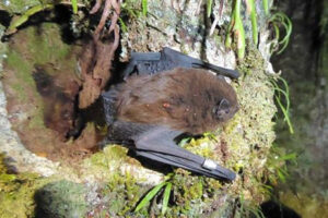 Rare bat identified at Pūkaha Wildlife Centre
