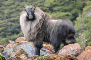 Operators take aim at tahr cull with High Court action