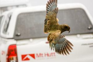 Native alpine parrot returns to Mt Hutt