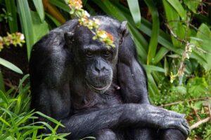 Hamilton Zoo chimp euthanised