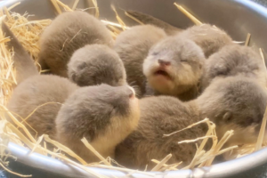Five otter pups born at Auckland Zoo